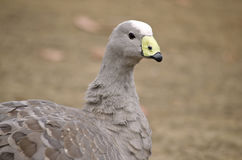 Cape barren goose. This is a close up of a cape barren goose Royalty Free Stock Photo