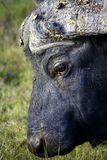 A close up of a Cape Buffalo's face Stock Image