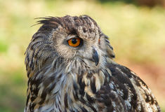 Close-up of a Cape Eagle Owl. Detailed portrait showing the face and head of a Cape Eagle Owl in Africa, with focus on the eye stock images