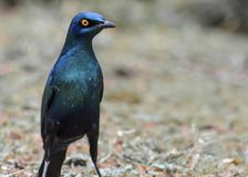 Cape glossy starling South Africa royalty free stock photo