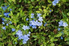Free Close Up Cape Leadwort Flower Plumbago Auriculata Stock Image - 101963281