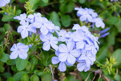 Close up Cape Leadwort flower ( Plumbago auriculata ) Royalty Free Stock Photos