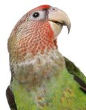 Close-up of Cape Parrot, Poicephalus robustus, 8 months old. In front of white background royalty free stock images