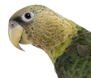 Close-up of Cape Parrot, Poicephalus robustus, 1 year old. In front of white background stock photography
