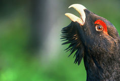 Close-up of Capercaillie head, Finland Stock Photo