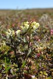 Close-up of a capitate lousewort Pedicularis capitata on the Canadian arctic tundra Royalty Free Stock Photography