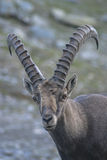 Close up of a capra ibex on italian Alps Stock Photography