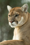 Close-up of captive cougar / puma / mountain lion Royalty Free Stock Images