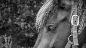 A close up capture on horses eyes and face in black and white. Stock Photos