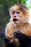 Close-up of a Capuchin monkey sitting on a branch in Costa Rica Stock Photo
