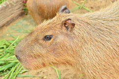 Close up of Capybara Royalty Free Stock Photos