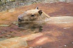 Close up of a Capybara (Hydrochoerus hydrochaeris) Stock Image