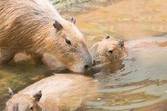 Close up of a Capybara (Hydrochoerus hydrochaeris) and two babie Stock Photo