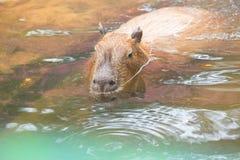 Close up of a Capybara (Hydrochoerus hydrochaeris) Royalty Free Stock Photo