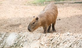 Close up of a Capybara (Hydrochoerus hydrochaeris) Royalty Free Stock Images