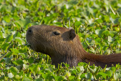 Close-up Capybara Munching Water Hyacinths. Close-up of a cute capybara munching on green leaves of water hyacinths , a sea of which it appears to be suspended stock image