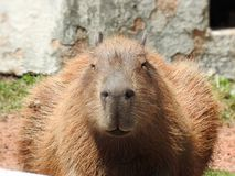 Close-up of a capybara seen from the front. stock images