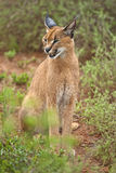 Close up Caracal Stock Photo