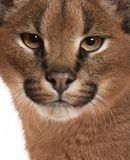 Close-up of Caracal, Caracal caracal, 6 months old stock image