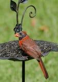 Close up of Cardinal Royalty Free Stock Images