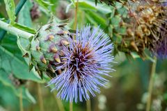 Close up of a Cardoon or Cynara Cardunculus with blue flowers in a garden. Very similar to a Globe Artichoke. A close up shot of a Cardoon or Cynara Cardunculus stock photos