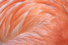 Close up of caribbean flamingo feathers, africa Stock Photography