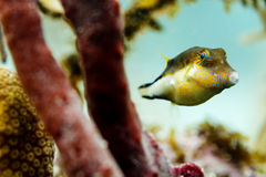 Close-up of Caribbean sharp nose puffer fish, canthigaster rostrata, swimming on coral reef among sponges and coral Royalty Free Stock Image