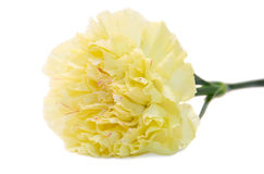 Close-up of a carnation. Isolated on white Stock Image