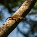 Close-up of a Caroline anole, Anolis carolinensis Royalty Free Stock Images