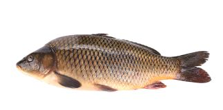 Close up of carp fish. Royalty Free Stock Photos
