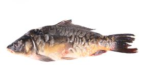 Close up of carp fish. Royalty Free Stock Image