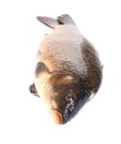 Close up of carp fish. Stock Photography