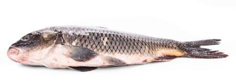 Close up of carp fish. Stock Image