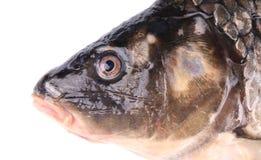 Close up of carp head. Royalty Free Stock Photos
