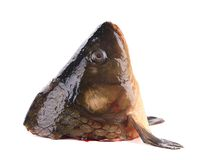 Close up of carp head. Stock Images