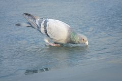 Carrier pigeon. The close-up of a carrier pigeon drinks water on ice royalty free stock photography