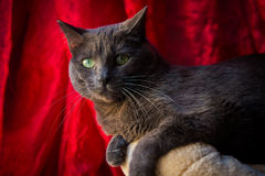 Close up of a Carthusian cat. Stock Photo
