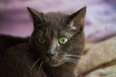 Close up of a Carthusian cat. Royalty Free Stock Photos