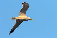Close up of caspian gull in flight Royalty Free Stock Photos