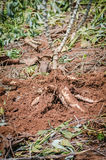Close up cassava in farm with ground Stock Photos