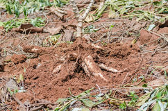 Close up cassava in farm with ground Royalty Free Stock Photography