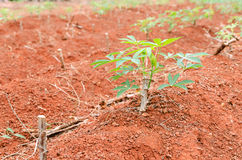 Close up cassava manioc plant in farmland Stock Photo