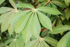 Close Up of Cassava or manioc plant leave in Thailand Stock Images