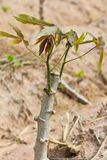 Close up of cassava sapling Stock Image