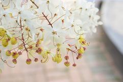 Close up Cassia Siam White flower or Showering Tree. And yellow pollen have blur red brick floor in garden as background with copy space Royalty Free Stock Photography