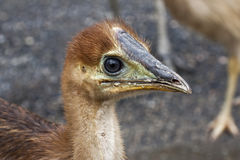 Close up of cassowary chick Royalty Free Stock Images