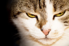 Close-up of a cat Royalty Free Stock Photography