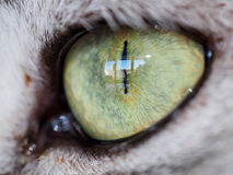 Close-up of cat eye. Of british shorthair cat Royalty Free Stock Image