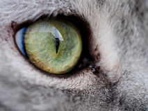 Close-up of cat eye. Of british shorthair cat Royalty Free Stock Photos
