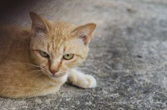 Close-up of cat eye and brown cat sit on the floor. A cat look at the camera Royalty Free Stock Photography